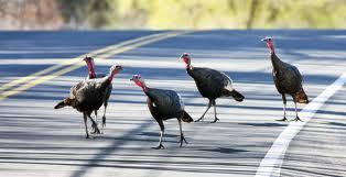 turkeys crossing the street