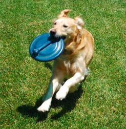 dog playing frisbee