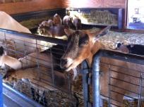 71_my goat