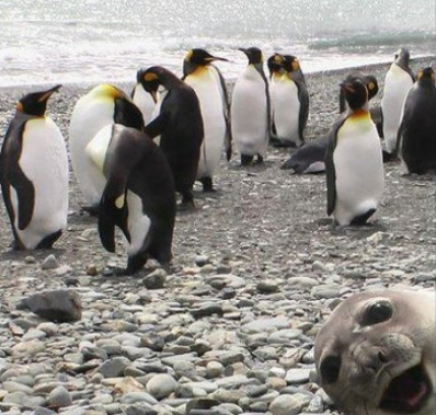 A seal photobombing a penguin party.  :)
